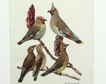 Vintage Print Birds Waxwing North America Color Book Illustration - 1950s