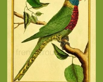 antique french illustration colorful parakeet parrot DIGITAL DOWNLOAD