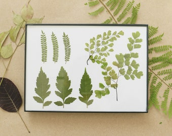 Pressed, Preserved, Dried Ferns and other Leaves in Floating Frame with Off White Background