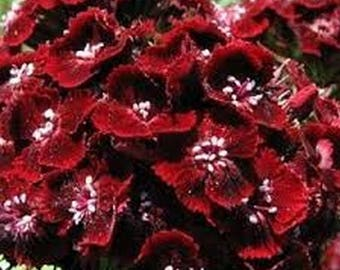 Dianthus- Dunetti- 200 Seeds
