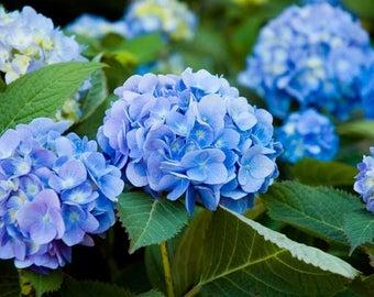 Endless Summer® Original Hydrangea Plant 3 Gallon