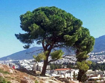Pinus pinea Italian Stone Pine 10 seeds