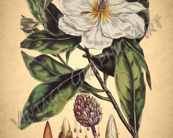 Antique Floral Illustrations for Decoupage, Wall Art Prints, Collages Magnolia 032
