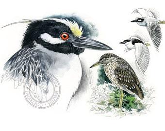 Heron (Black and Yellow-crowned)  watercolour - bird art, wildlife art - nature print of original artwork