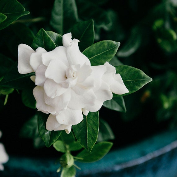 Gardenia Photo,  Botanical Image, Art, Photography, Wall Art, Garden Scene, Classic Home Decor, Turquoise and White Print, Fine Art Print