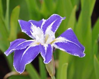 Iris Flower Photography, Iris Photography, Iris Print, Flower Photography, Iris Flower Decor,