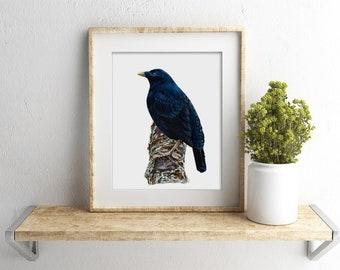 "8x10"" Male Satin Bowerbird - Australian Bird Art - Australian Native Bird Print"