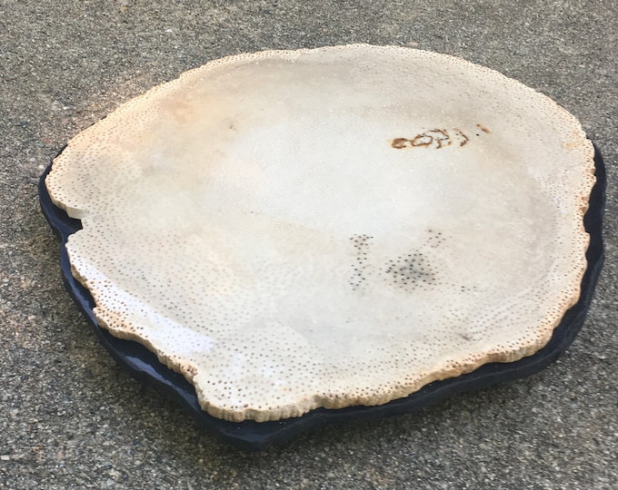 "Petrified Palm Wood Trivet #116: an 11"" x 12"" x 1 1/2""high natural stone trivet/ Cheese plate."