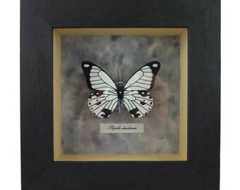 """Cadre faux papillon """"Papilio dardanus"""" noir et blanc façon étude entomologique, papillon en plastique peint (CD recyclé), fausse taxidermie"""