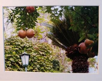 Photo: Pomegranate Tree