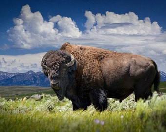 American Buffalo Bison Grazing by Yellowstone National Park in Wyoming No.2802 A Fine Art Animal Nature Landscape Photograph