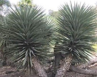 5 Giant Mountain Yucca Seeds-1148