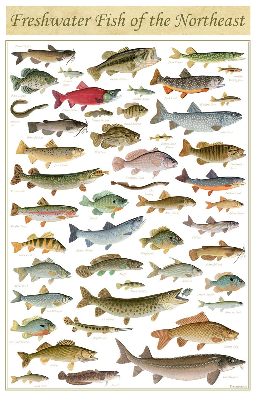 Freshwater fish of the northeast poster 11x17 inch print by for Freshwater fishing games
