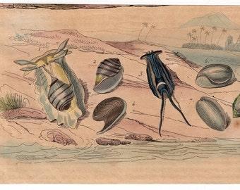 1835 exotic sealife print rare original antique hand colored engraving - ocean fish shell sea marine