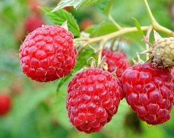 Caroline Red - Raspberry Plant - Everbearing - Organic Grown - Ready for Spring Planting 4 inch pot stater plants
