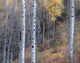 Aspen trees, fall tree decor, Colorado art, rustic wall art, cabin decor, fall aspen forest, aspens art, fall aspen art | throughthewoods