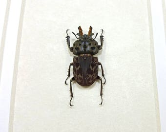 Framed Brown Stag Beetle Ryssonotus Nebulosus Taxidermy A1 #83
