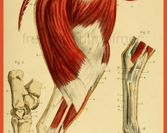 antique french victorian anatomical print the horse DIGITAL DOWNLOAD