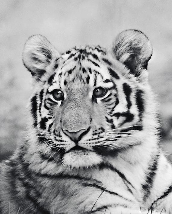 tiger fotografie babyfoto tiger tiger foto baby tier bild. Black Bedroom Furniture Sets. Home Design Ideas