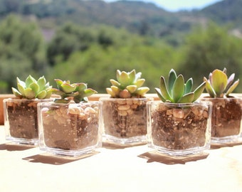 "20 DIY Rosette ONLY Succulents in 2"" containers with Beautiful square Glass Votives Complete Wedding Favor Kit succulents party gifts"