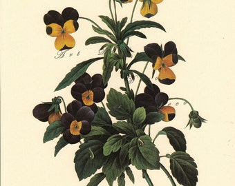 vintage botanical print by Pierre Redoute, Violets, a printable digital image no. 1529