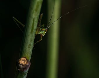Katydid Nymph Fine Art Photo Print - Wildlife Photography - Insect Photography - Gifts for Nature Lovers - Insect Photos - Nature Photos