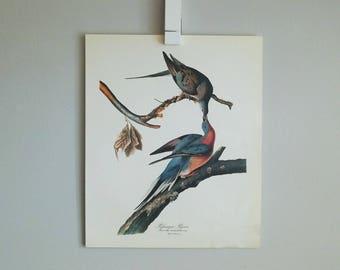 Passenger Pigeon Audubon Print (1964)