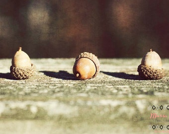 Acorn Trio- Fine Art Photopgraphy print 5x7 by Alana Gillett- Fall Autumn Harvest Nut Tan Texture Wall Art