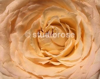 VALENTINE ROSE by Rose Drew