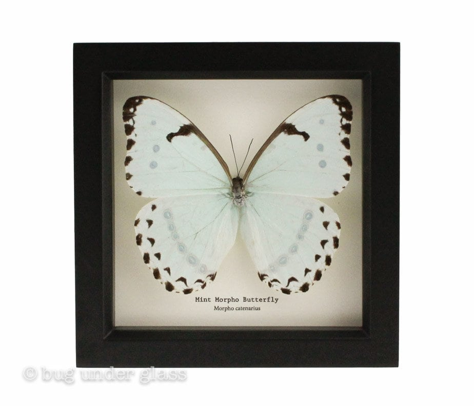 Real Framed Butterfly Mint Morpho with species name text