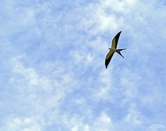 Swallow Tailed Kite, Bird Flying in Blue Sky, Nature Photography, Beautiful, Print