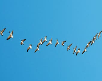 Geese Flying Photograph Digital Download Fine Art Photography Wild Life