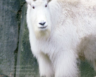 Mountain Goat Mountain Wildlife Male Animal North American Mammal