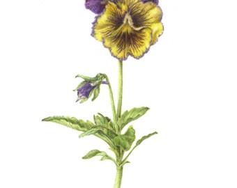 Viola, Pansy, 8 x 10 botanical print, colored pencil