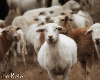 Sheep picture, farm animal photography, farmhouse decor