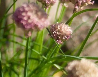 Purple Chives Summer Flower Wall Art Room Decor with Green and Brown - Spring Chives - A Fine Art Photograph