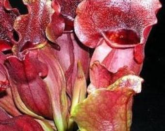 Purple Pitcher Plant 5 Seeds,Carnivorous, Sarracenia Purpurea,