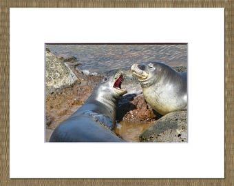 Hawaiian Monk Seal Matted Photo, Hawaiian Monk Seal Photo, Hawaii Matted Photo, Big Island Matted Photo, Hawaiian Monk Seal