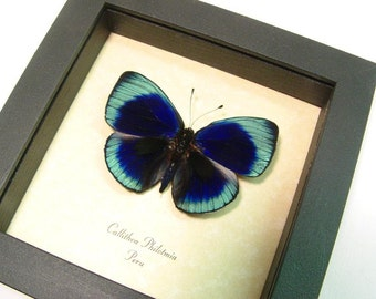 Dad's & Grad's Gift Callithea philotmia Real Framed Butterfly Conservation Display 355