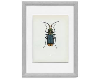 Vintage Insect Print, Soft-winged Flower Beetle, (61) Vladimir Bohac, 1965, Bug Creepy Crawly, Natural History, Frameable Art