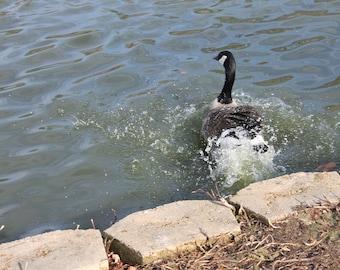 Bird into pond photo