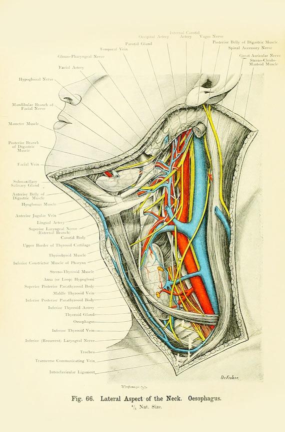 Human Anatomy Vintage Print-human neck anatomy-haeckel-human