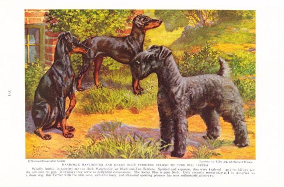 1930s Manchester Kentucky Blue Terrier Dog Print Vintage