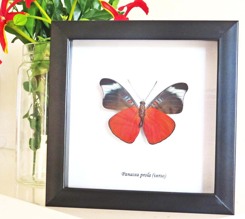 Echte Präparatoren-Schmetterlings-Sammlung zum Verkauf gerahmt