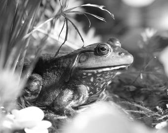Black and White Frog Photograph, American Bullfrog, Black and White Wall Art, Frog Print Nature Photography, Child's Wall Art, Amphibian Art