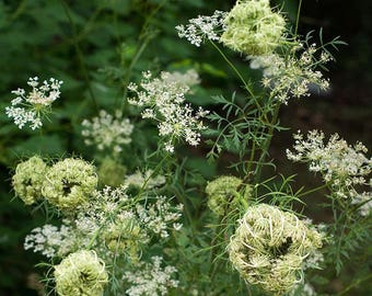WF)~QUEEN ANNE'S Lace~Seed!!!~~~~~~Wildflower Lovelies!!