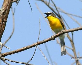 Yellow Breasted Chat Photo | Bird Photography | Songbird Wall Art | Birding | Gift for Birder | FeatherWindStudio | Eastern Warbler Print