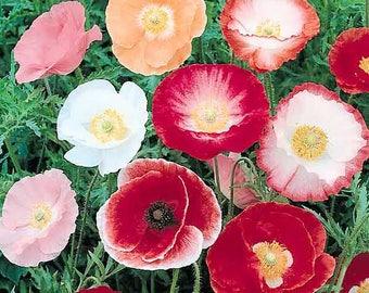 Poppy Seeds, FREE SHIPPING, Mixed Shirley Poppy Seeds, Rabbit Rescue Donation