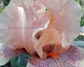 pale Pink Iris, Flower Photography, 8 x 10 Matted Photograph, Flower Decor, Digital Art