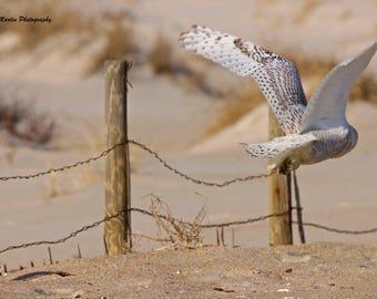 A Snowy Owl Takes Flight